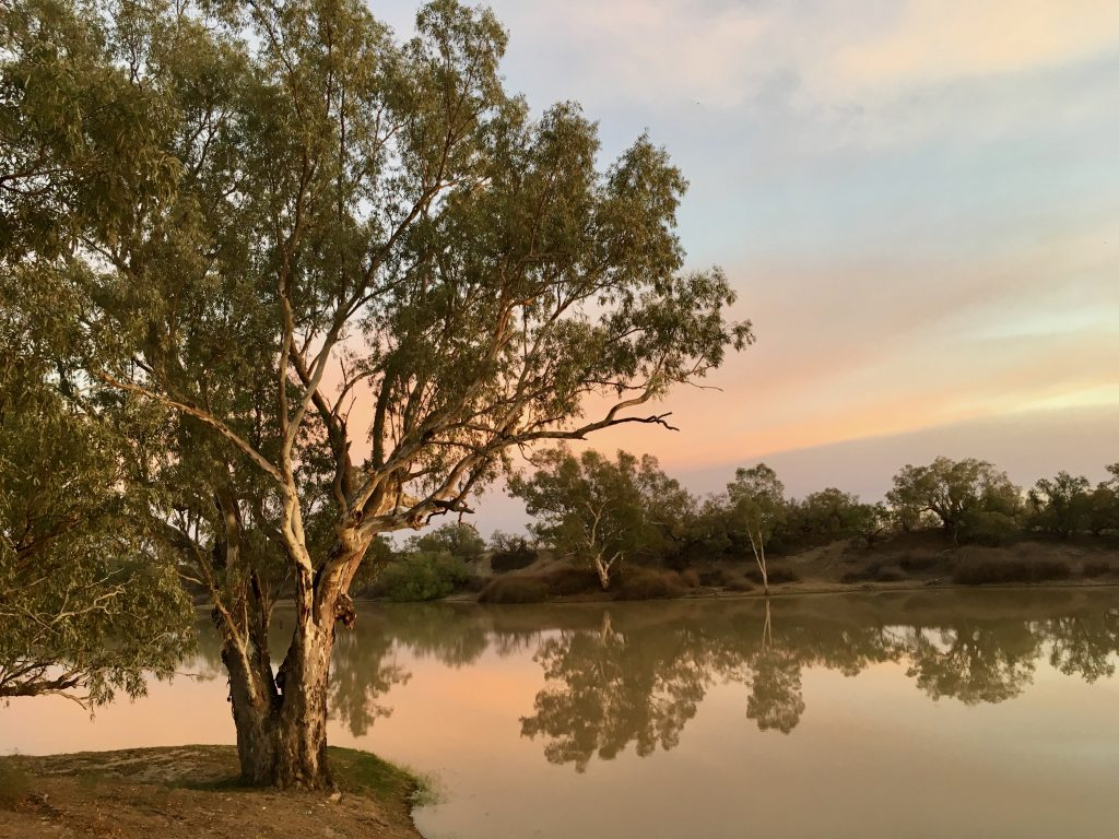 A River Red Gums caught in the early light - sunrise over Cooper Creek