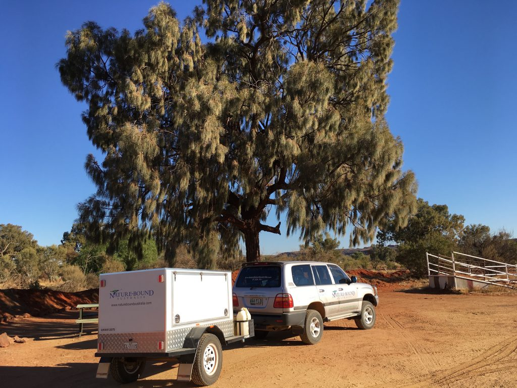 Mature Desert Oak by our tour vehicle in Central Australia