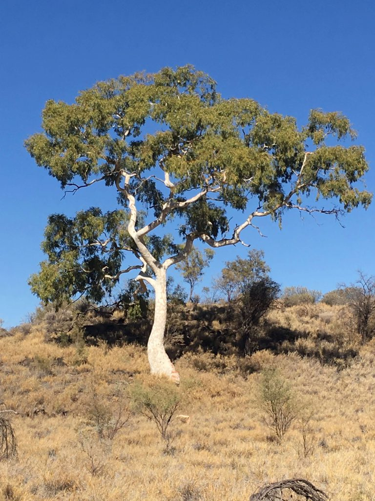 Ghost Gum of East Macdonnell Ranges Central Australia, symbol of the Australian bush