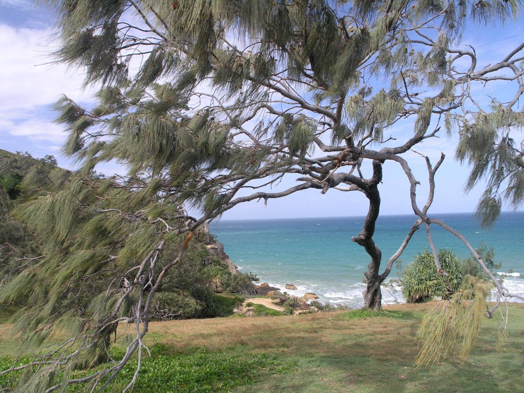 Wind tolerant Casuarina on the Queensland coast