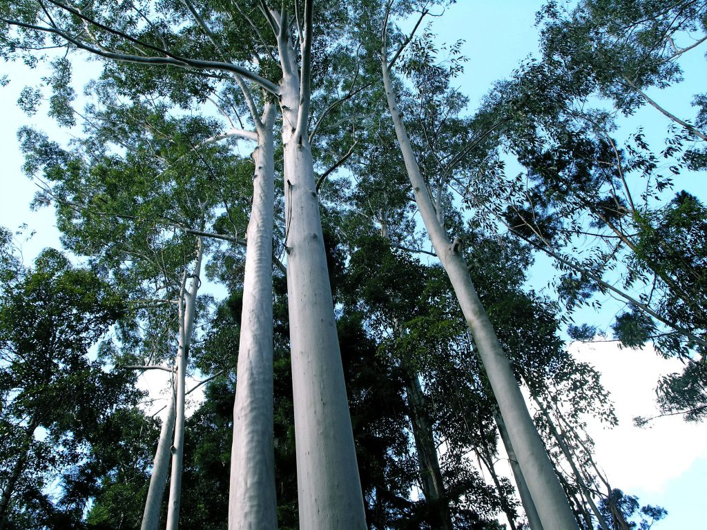 Flooded Gums on World Heritage Fraser Island