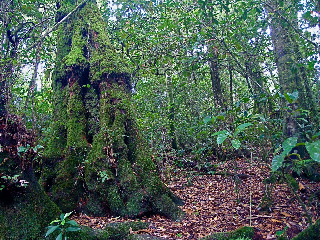 Antarctic Beech Tree of the World Heritage Gondwana Rainforests