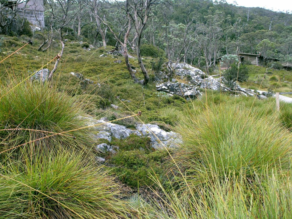 Button Grass woodlands of Cradle Mountain