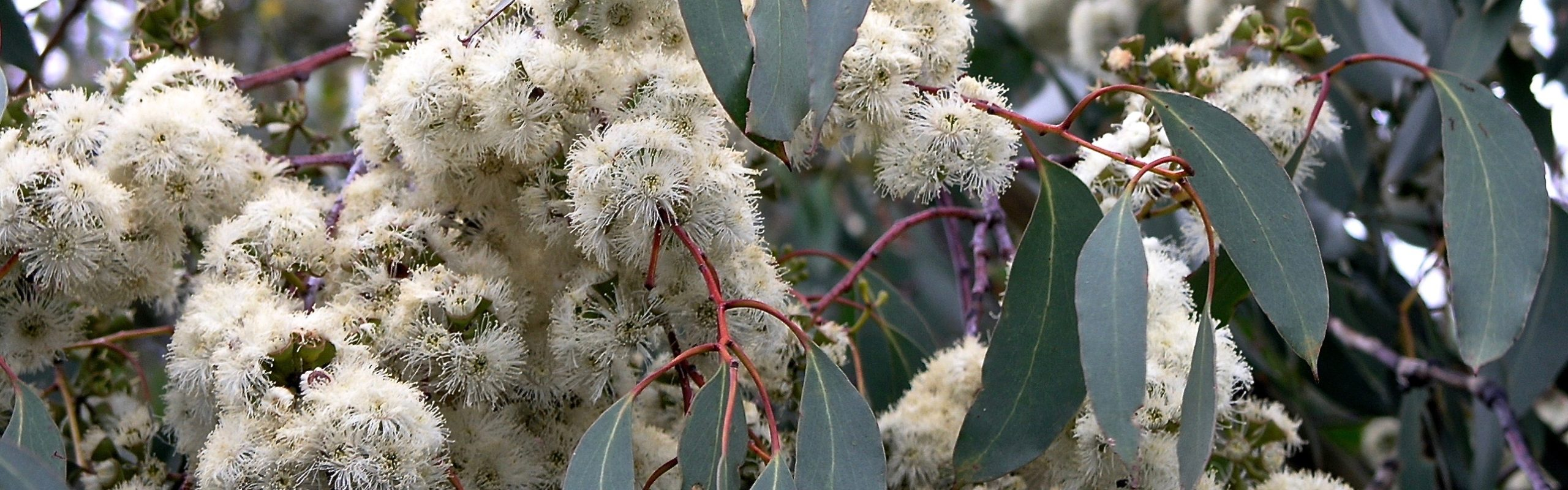 Prolific Eucalypt Blossoms