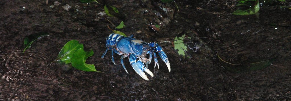 Personal health and wellbeing comes with discovering creatures like the Spiny Crayfish of Lamington National Park