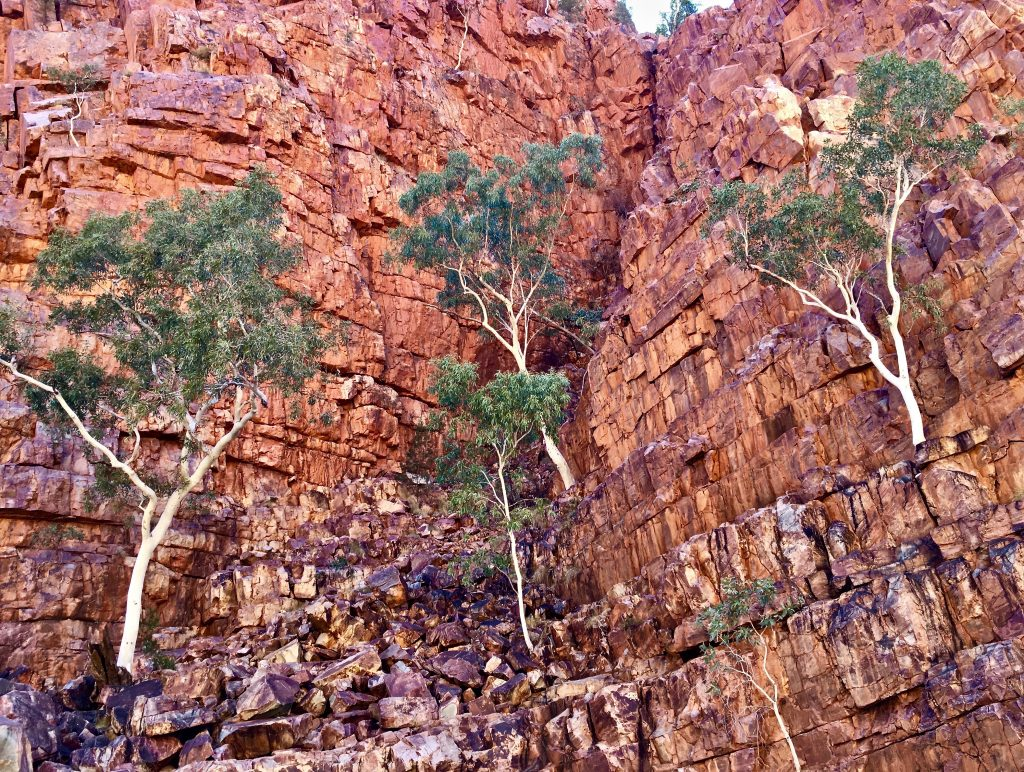 Deep in Ormiston Gorge Ghost Gums cling to 760 million years of twisted colourful geology