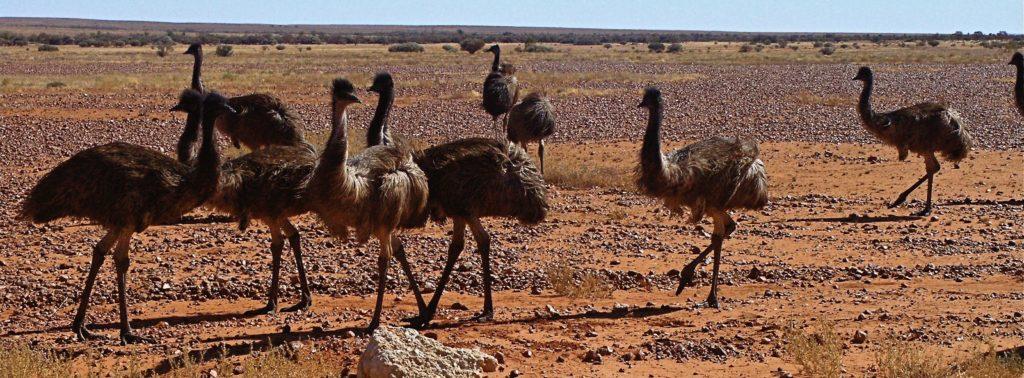 Curious Emus gathering