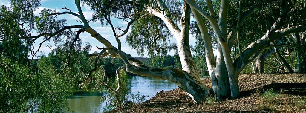River Red Gums